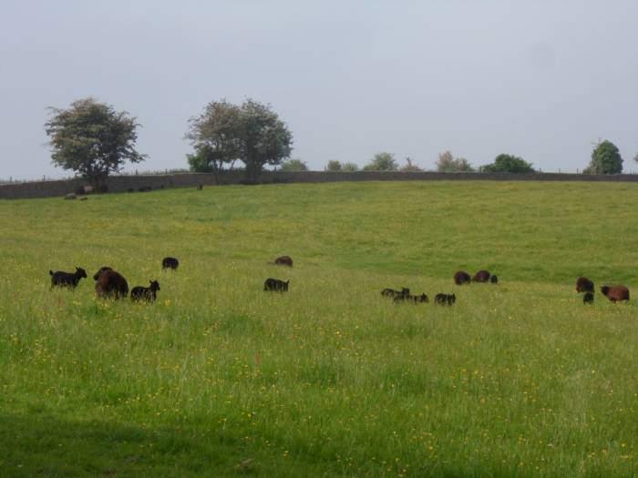 Lots of black lambs
