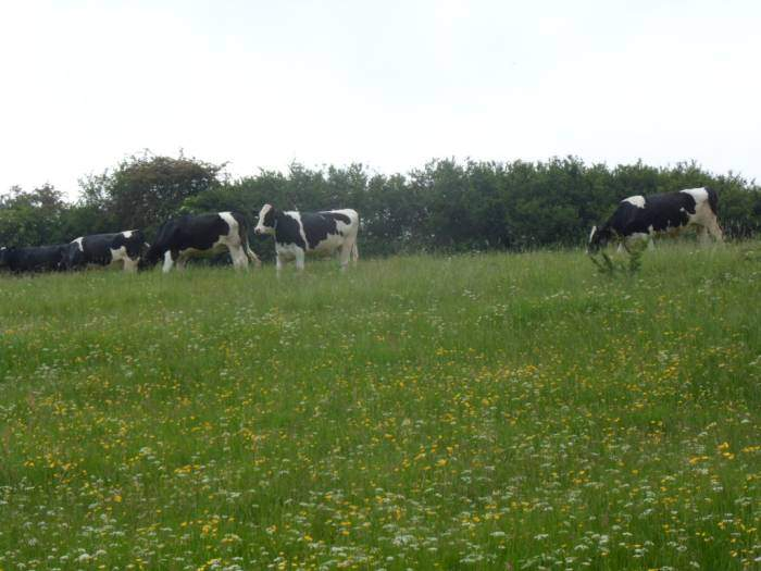Past dairy cows among the buttercups