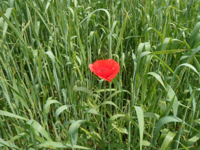 A few poppies in the wheat