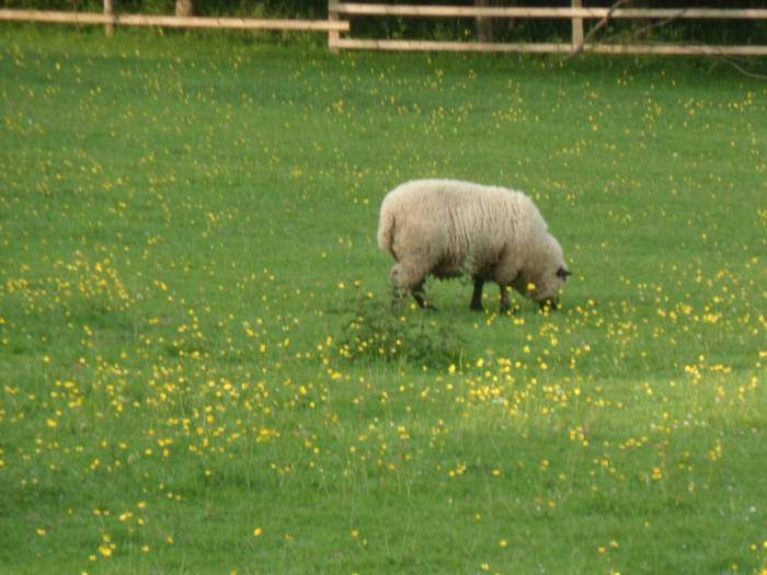 A couple of sheep in this field of buttercups