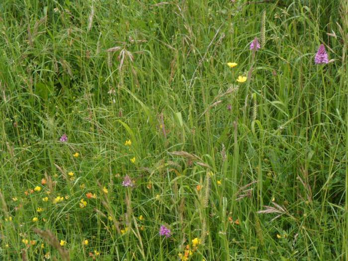 Among birds' foot trefoil and buttercups