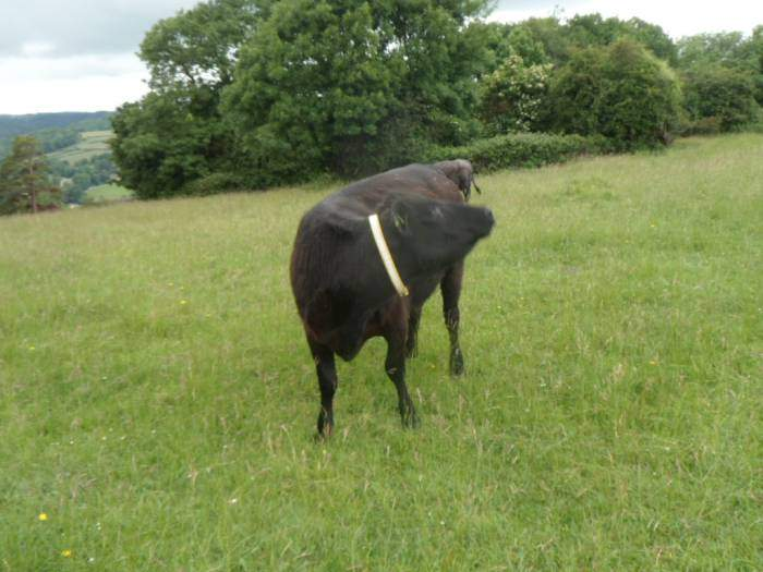 This cow kindly turns her head to reveal her reflective collar