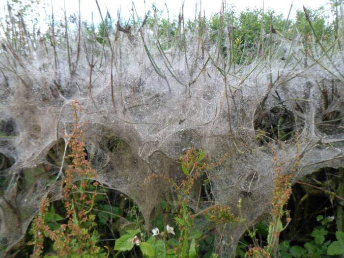 These spiders have been very active - what sort makes this kind of web?