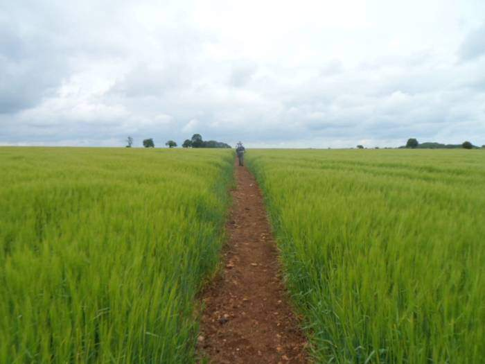 Entering a field of wheat