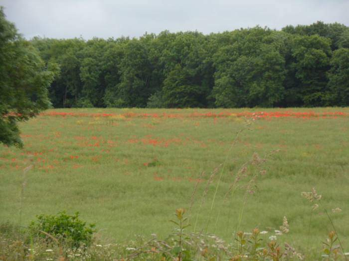 Poppies in this field