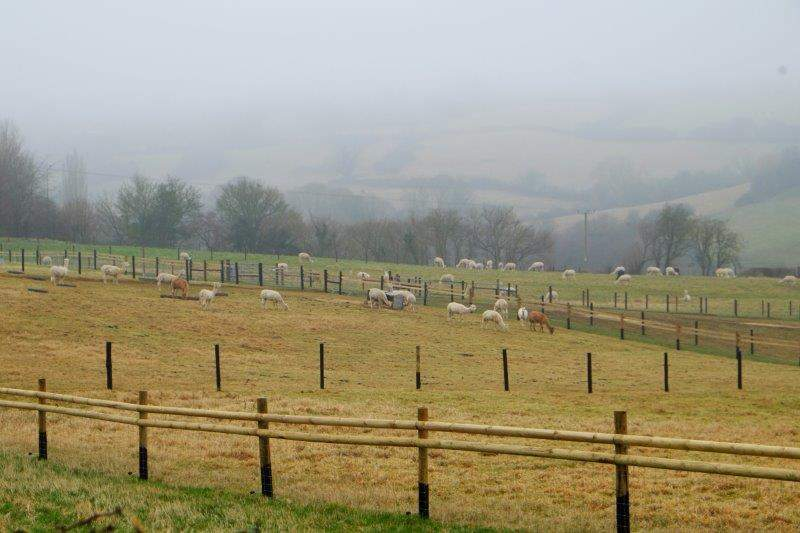 On our right a new herd of alpacas