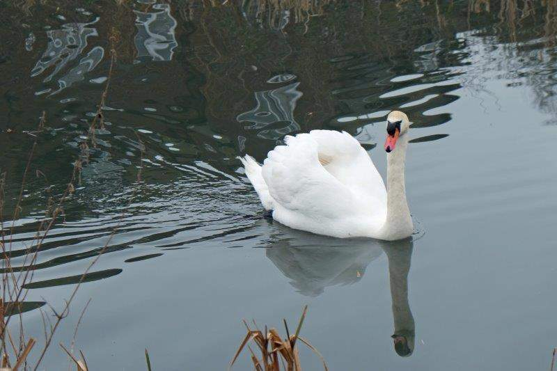And another swan