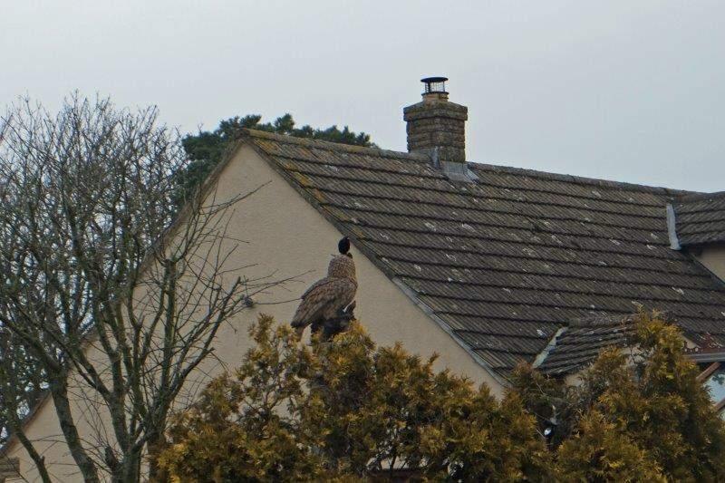 Blackbird sitting on owl!