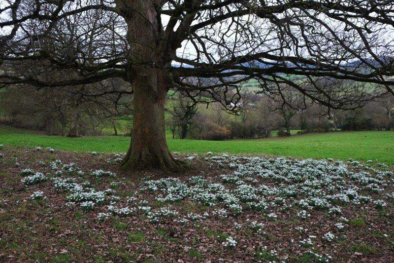 Passing a fine display of snowdrops
