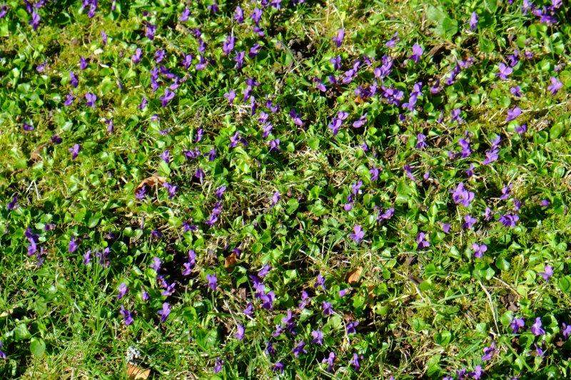 Early violets