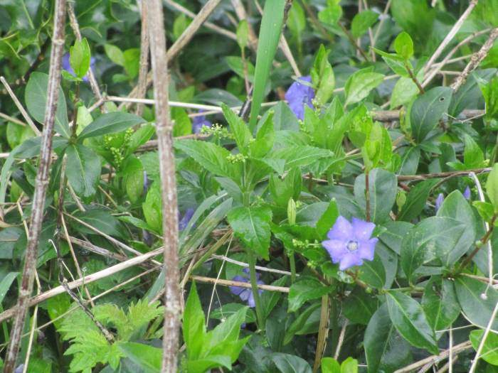 Periwinkles out