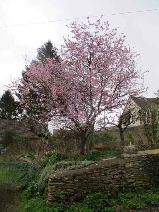 More Spring blossom in Windsoredge