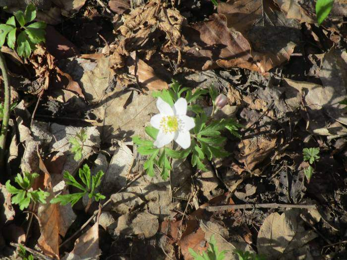 A wood anenome in flower