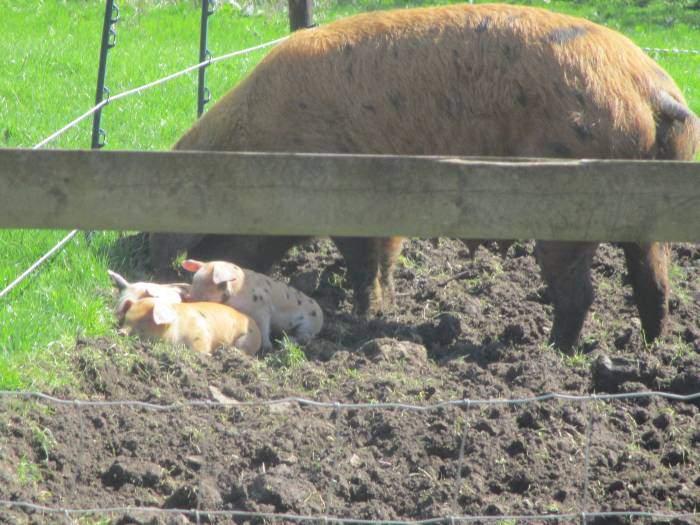 But has three little piglets