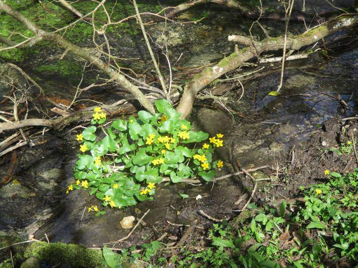 Marsh marigolds everywhere