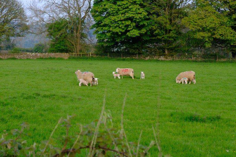 Numbers on their backs so that the lambs can identify their mothers?