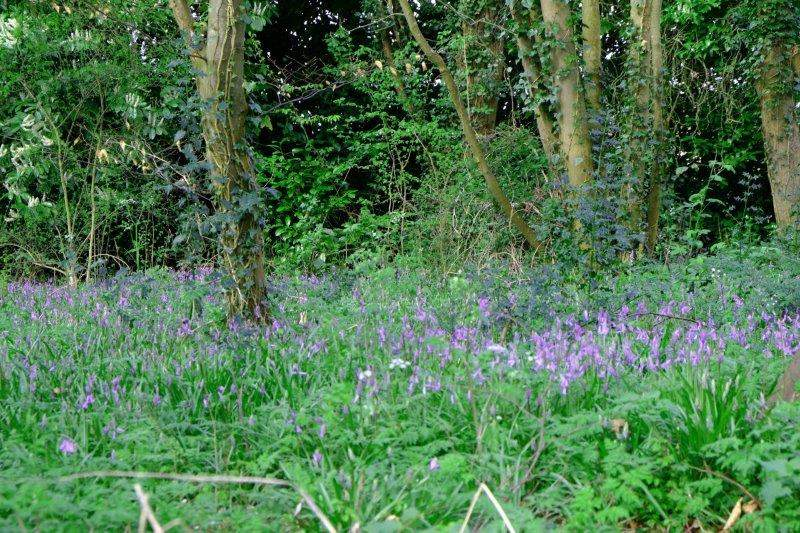 Bluebells appearing