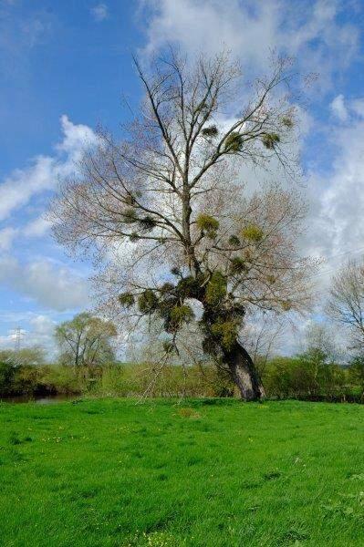 Mistletoe in abundance