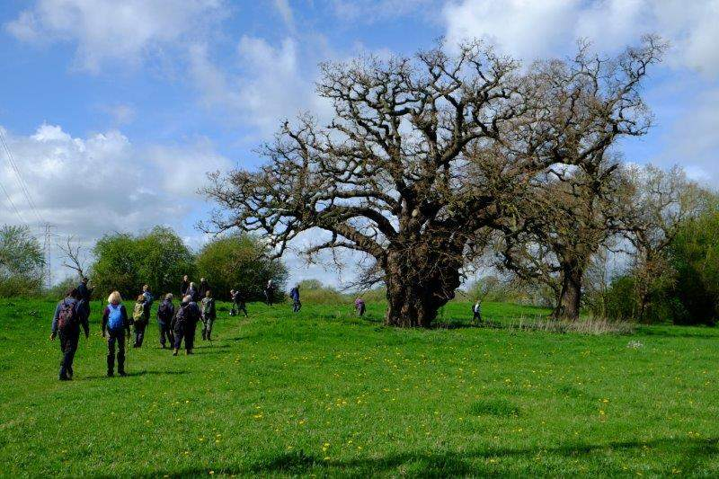 An old gnarled oak (Graham B measured the circumference of the trunk and used the Woodland Trust calculation to work out that it is about 500 years old)