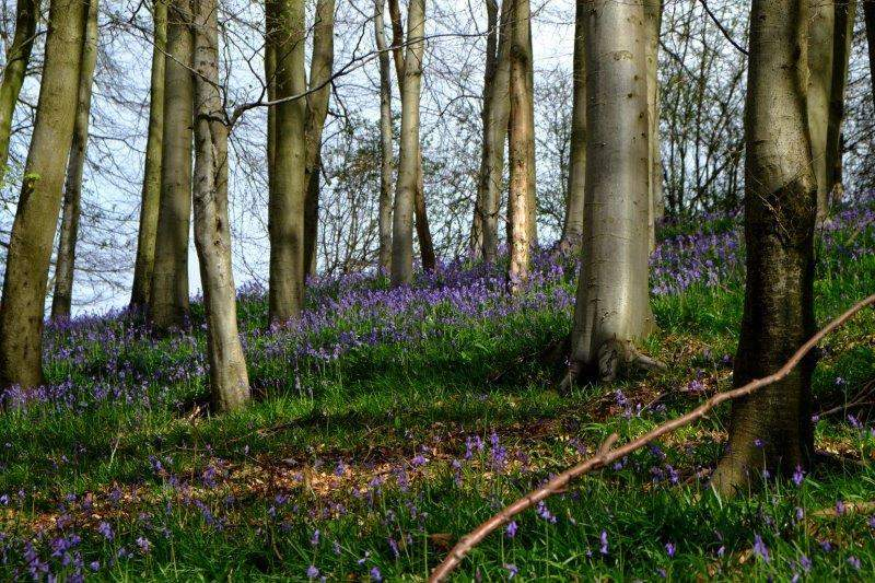 Tim leads us off through Workman's Wood where there are plenty of bluebells