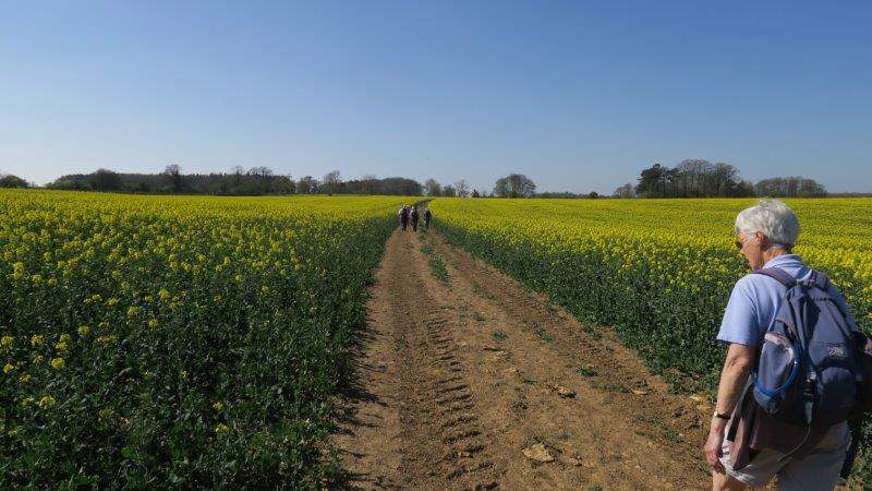 Our path passing through a field of rape