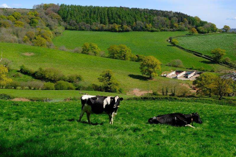 Cows peacefully grazing