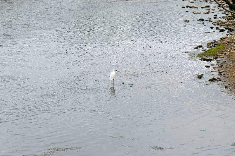 A little egret sees us coming