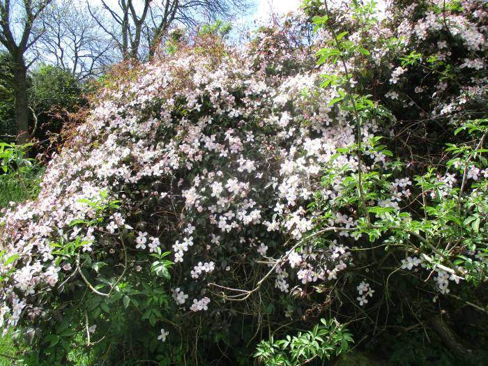Returning via Bownham Common we pass this clematis montana