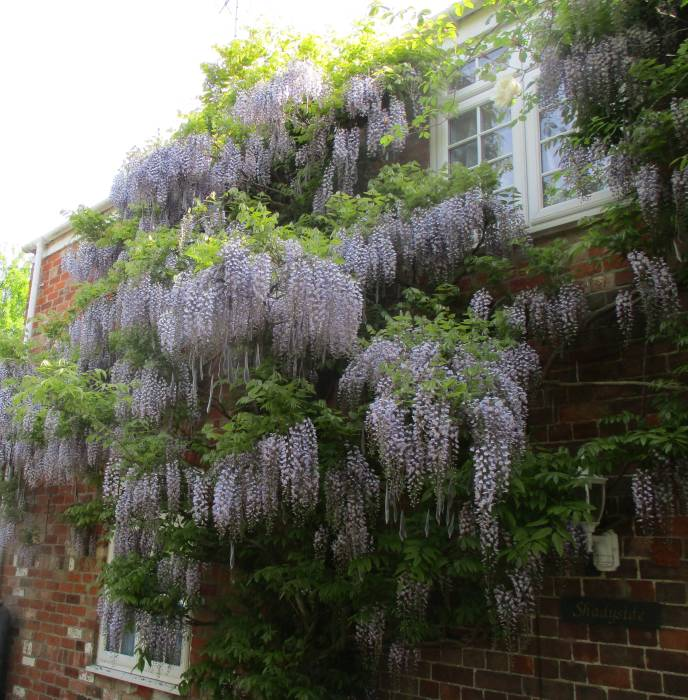 Beautiful wisteria on a house in Whitminster