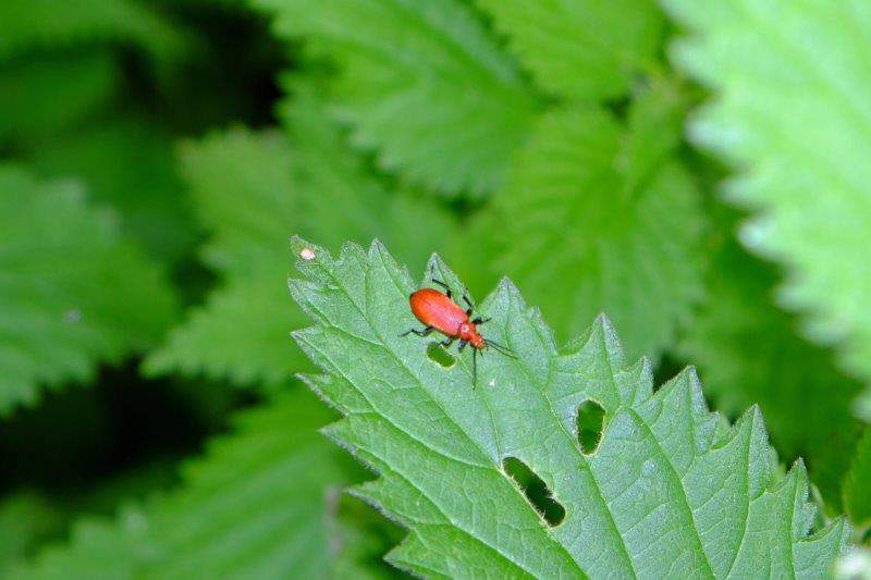 A red beetle