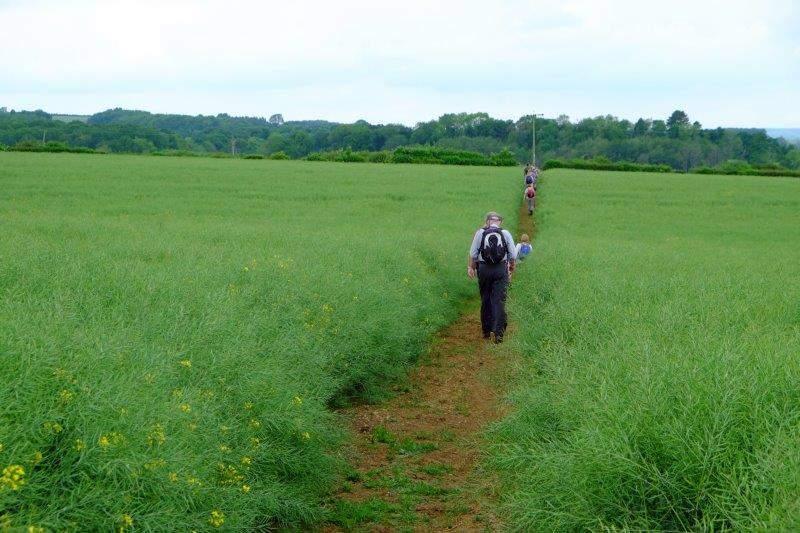 Following a path through a field of maturing rape