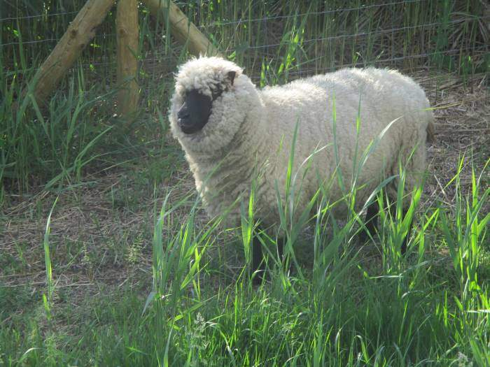 An unusual looking sheep