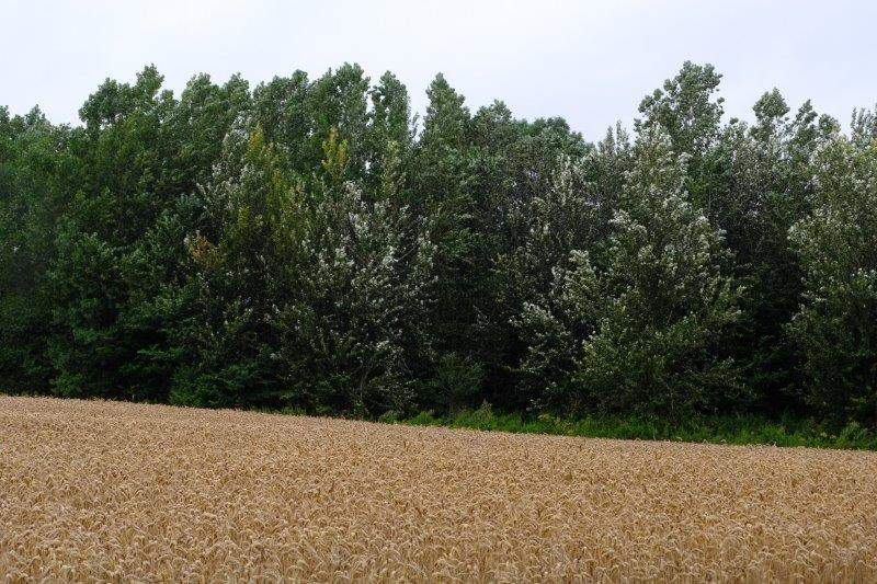 More wheat