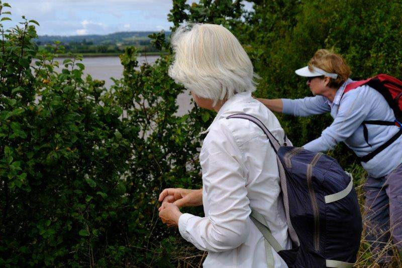 More fruit picking, damsons this time - better add an extra 20 minutes  to the walk