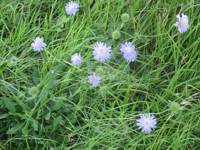 We pass lots of scabious
