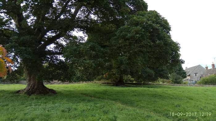 . And two venerable oak trees