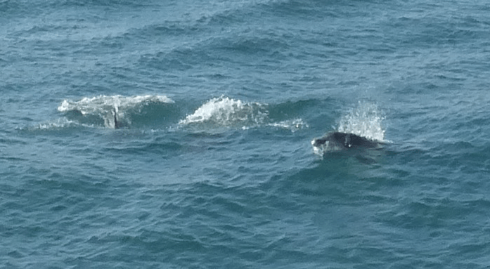 On our return the ferryman, already late, made an extra circuit so we could see the dolphins just outside the harbour*