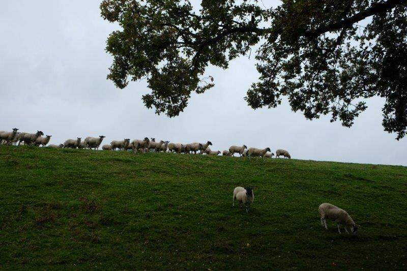 Watched by sheep