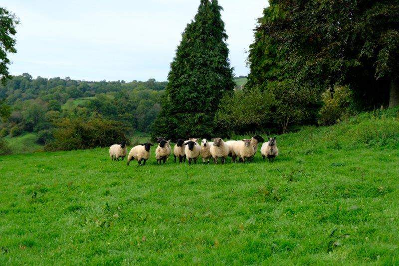 Carefully watched by a field of sheep