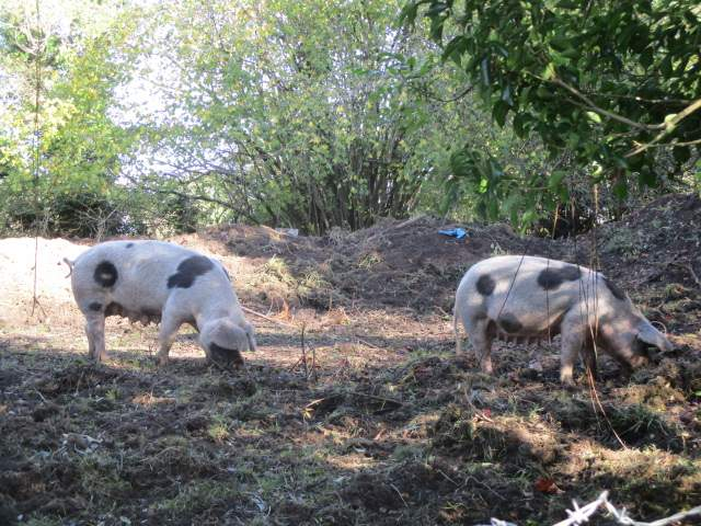 On the return to Arlingham we think we have found the mums of some of the piglets