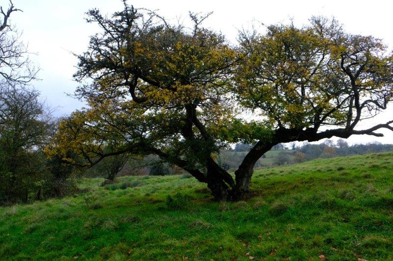 Climbing back uphill we pass two trees growing together - a maple and a hawthorn