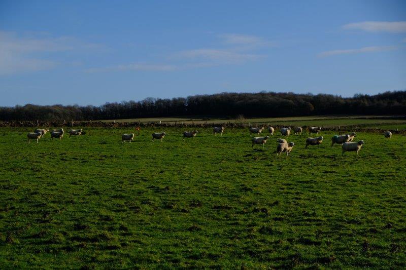 Sheep may safely gaze