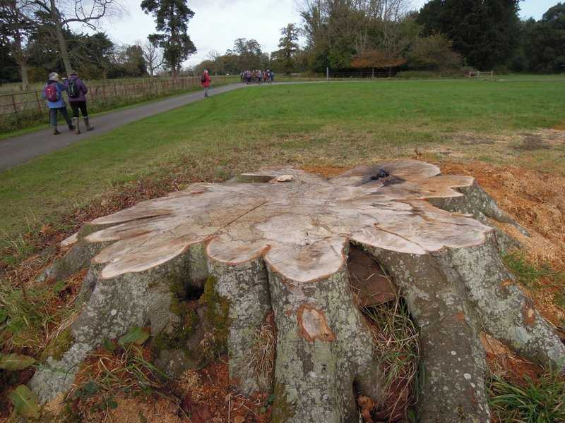The remains of a huge tree