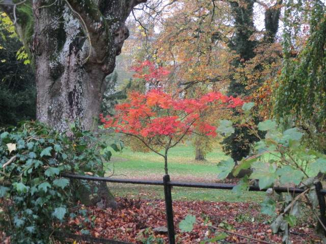 This red acer at the front with an interesting trunk behind