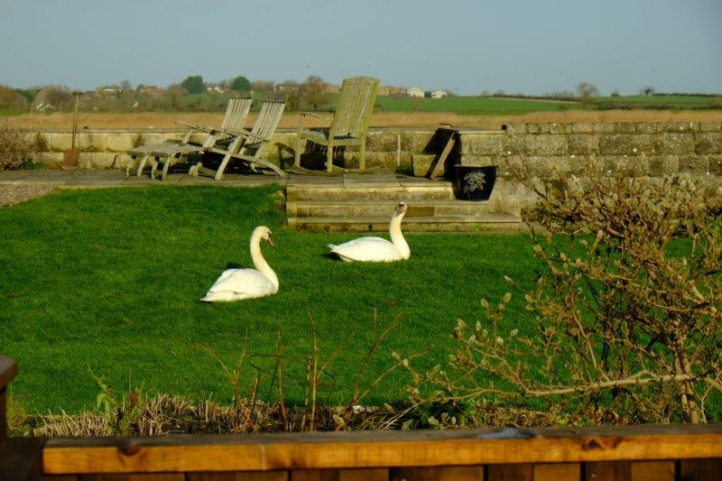 Two swans resting in the sun
