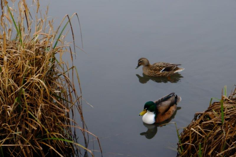 Under the watchful eyes of the ducks