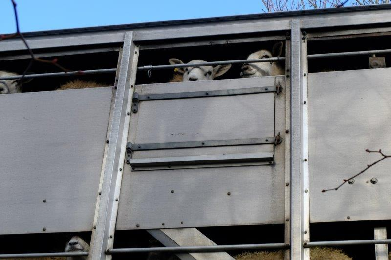 Sheep out for a ride