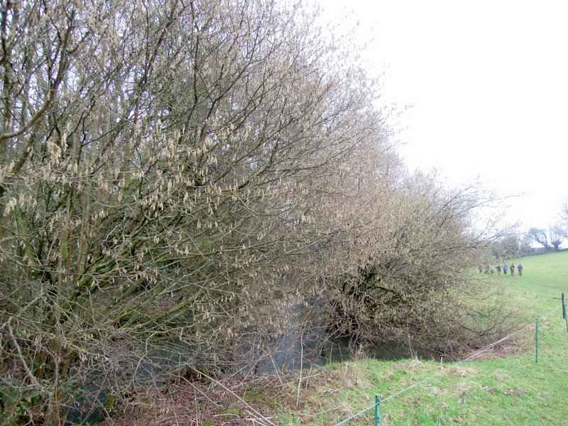 Catkins are evident
