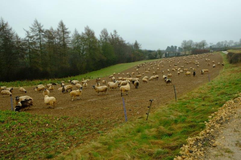 Herd of sheep eating turnips spread out for them
