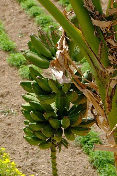 Even Bananas